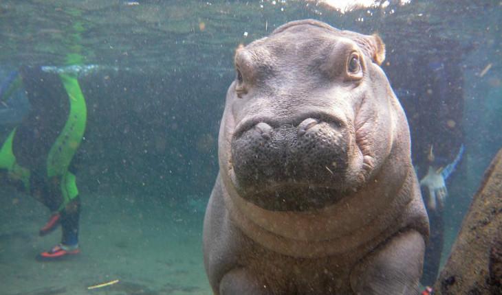 Hipopótamo dentro da água